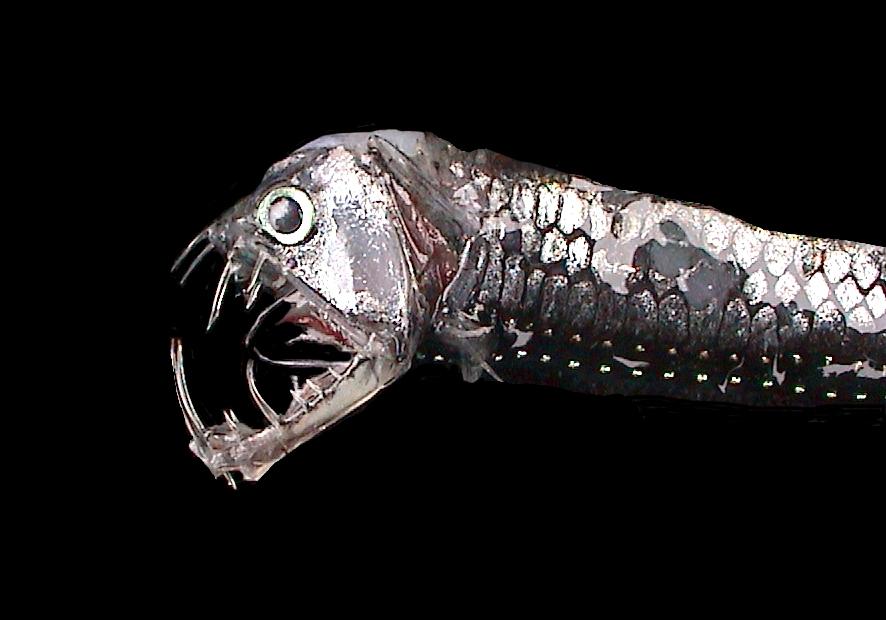 Alguns desses peixes são transparentes