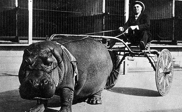 foto historia hipopotamo carruagem