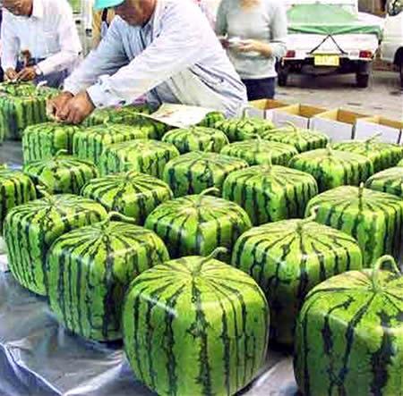 invencao japonesa melancia quadrada