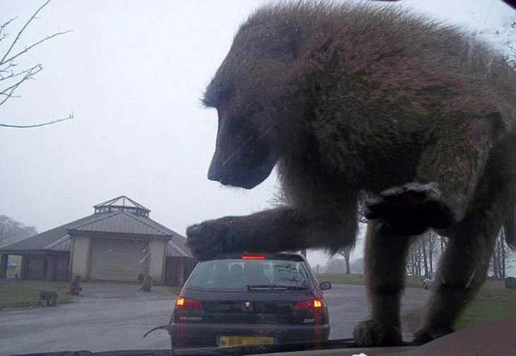 super macaco