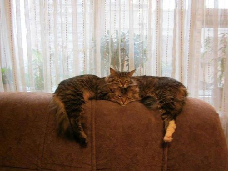 gatos biarros