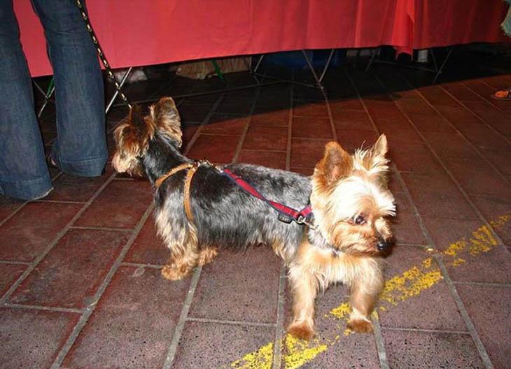 cachorro duas cabeças