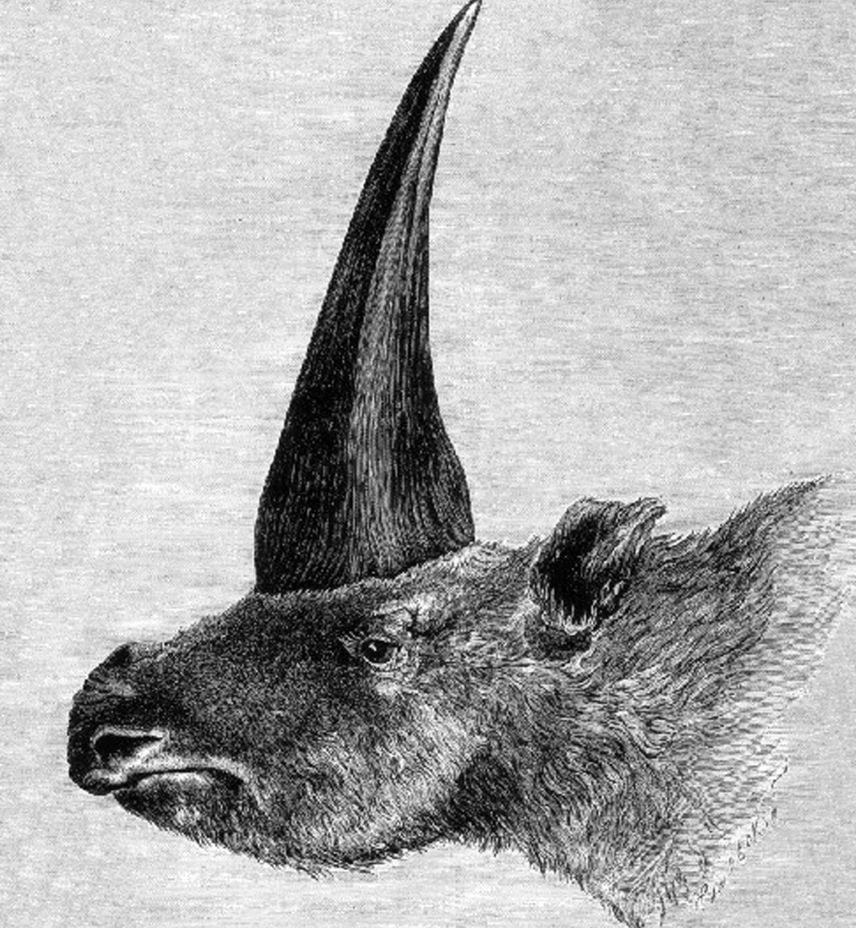 Ilustração feita em 1878 mostra o Elasmotherium sibiricum, o 'unicórnio siberiano' (Foto de domínio público / Rashevsky, sob supervisão de A.F. Brant)
