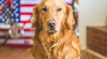 09-golden-retriever