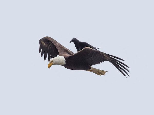 aguia e corvo