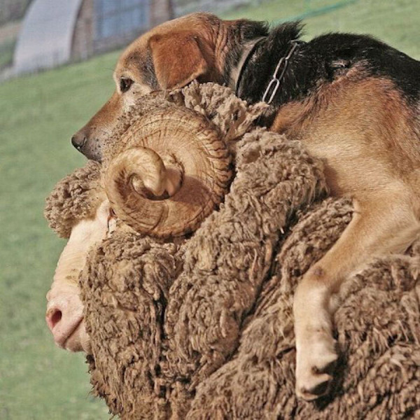 cachorro e carneiro