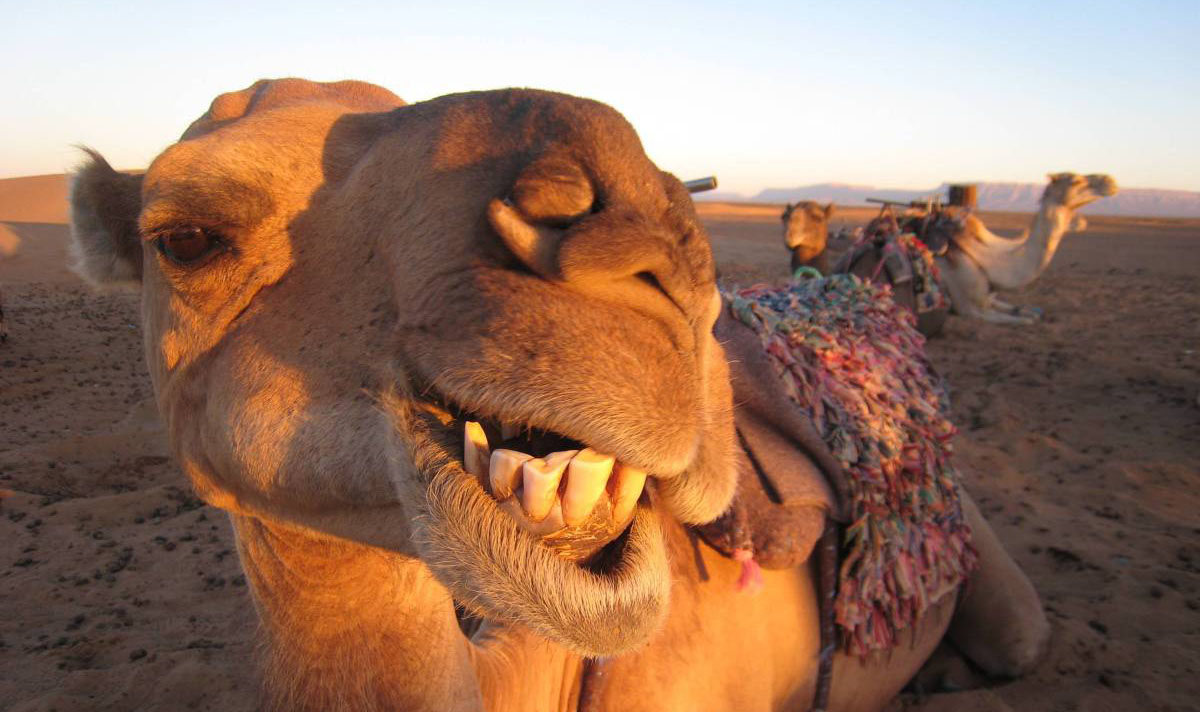 camelo-australiano