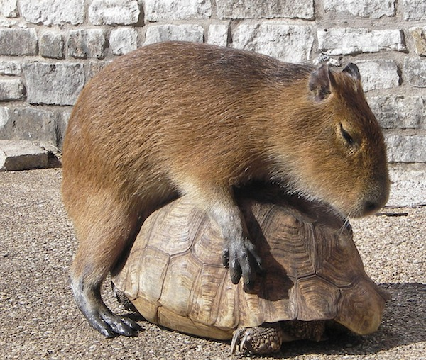 capivara e tartaruga