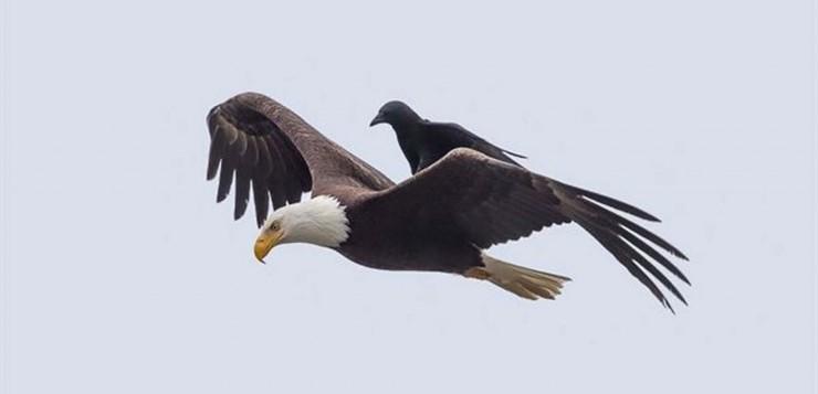 corvo e aguia capa