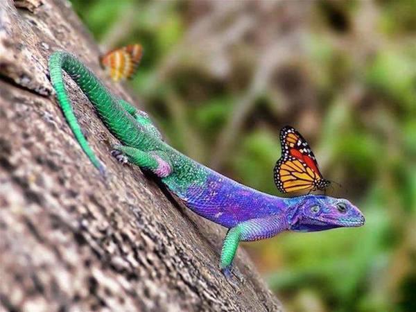 lagarto e borboleta