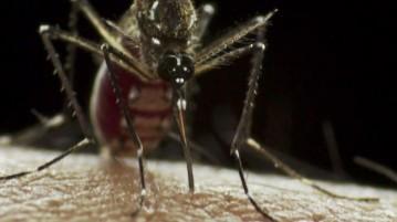 O mosquito Aedes aegypti , transmissor do zika vírus (Foto: Sanofi Pasteur / Flickr)