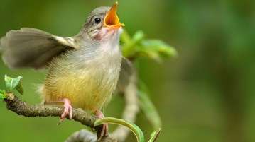 pássaro-cantando