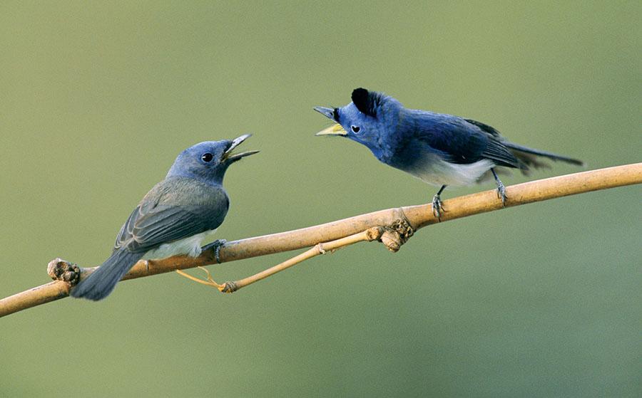 pássaro-cantando-pra-fêmea