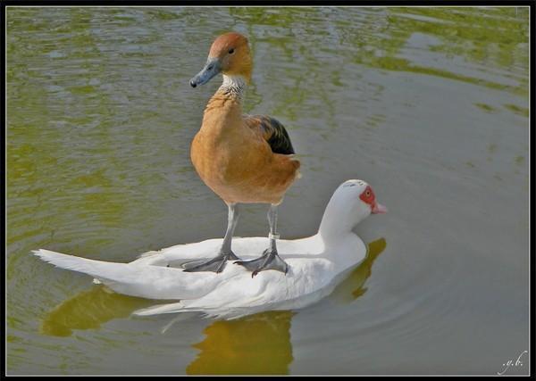 pato e pato