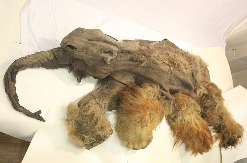 mamute-sibéria