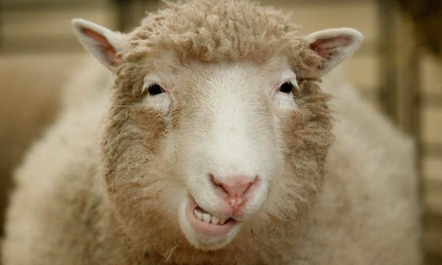 ovelha-dolly