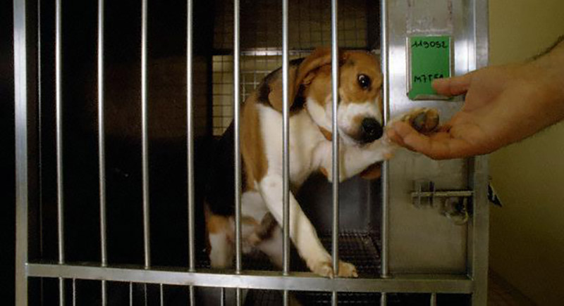 astrazeneca-beagle