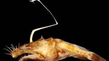 Lasiognathus dinema, considerado como um dos peixes mais feios do mundo.