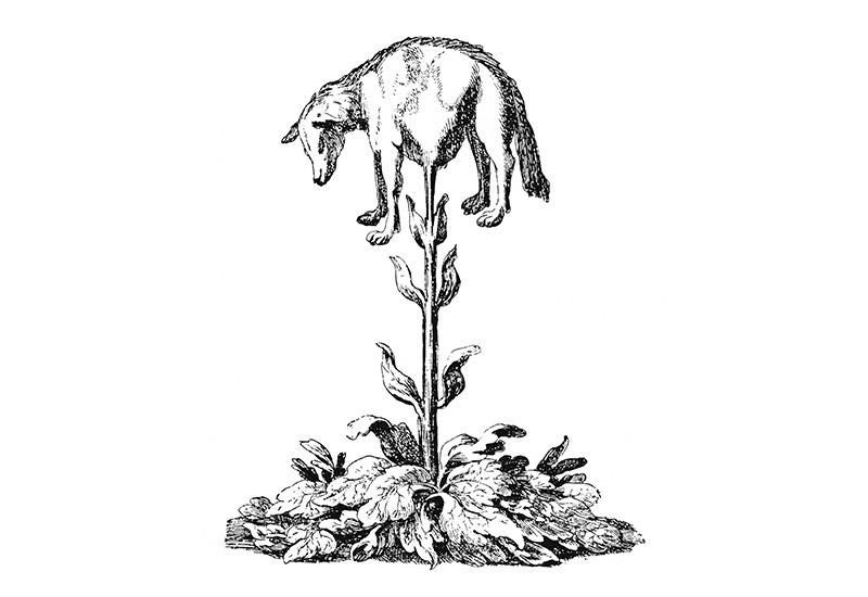 cordeiro-vegetal-da-tartária