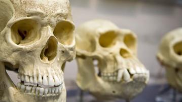 crânios-evolução-humana