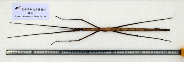 maior-inseto-1