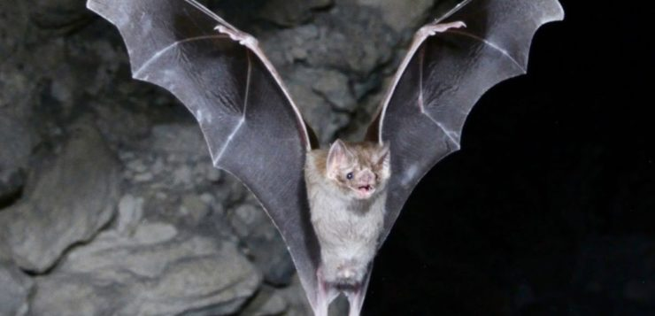 Morcegos vampiros estão consumindo sangue humano no Brasil; entenda