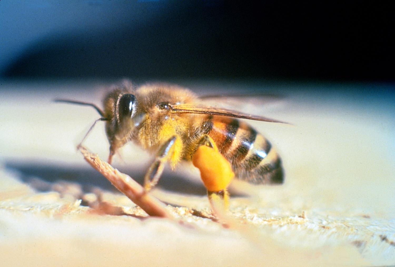 10-abelha-africanizada