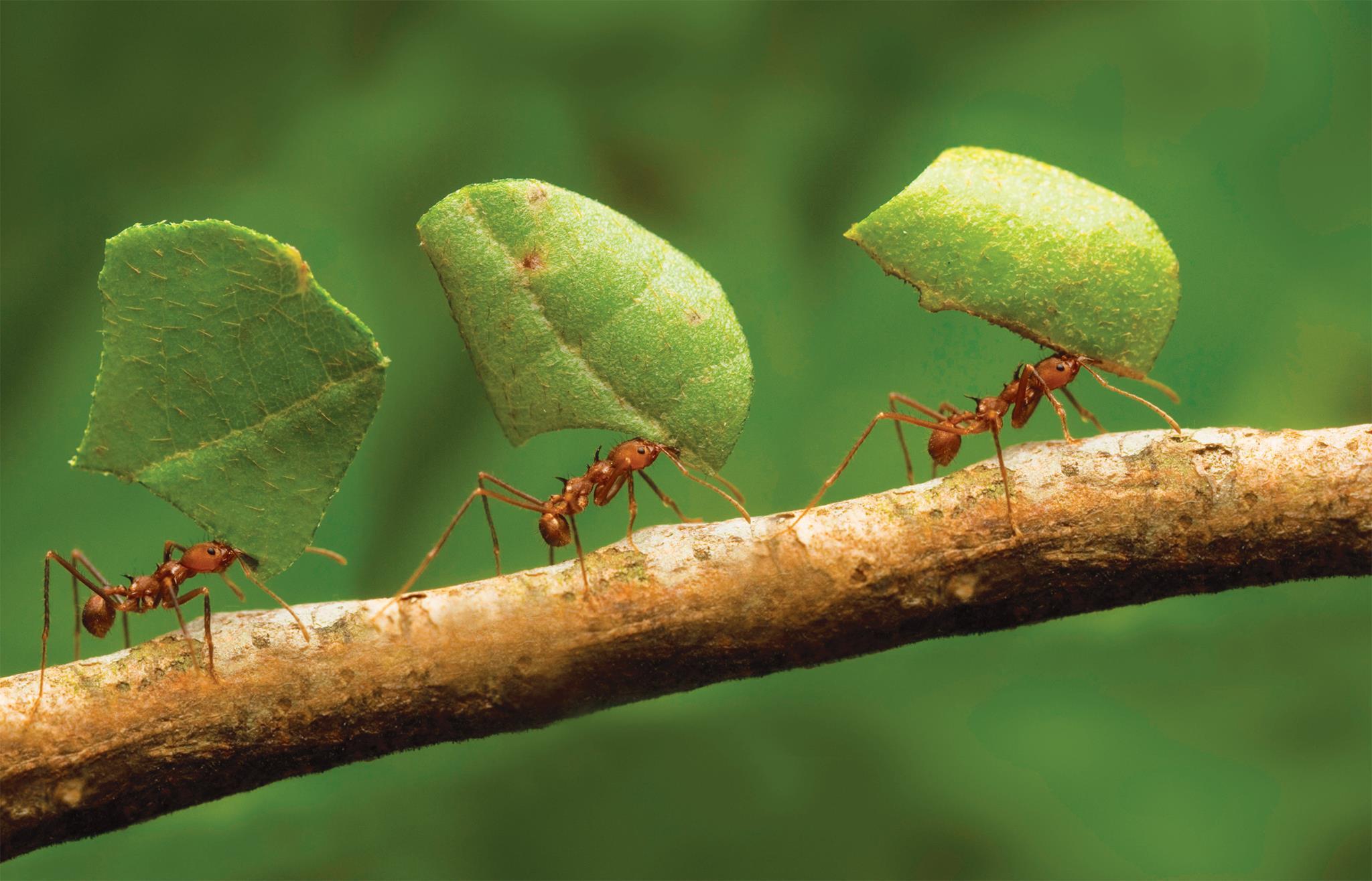 Você acredita que formiga faz bem para a vista? Não tenha certeza disso!