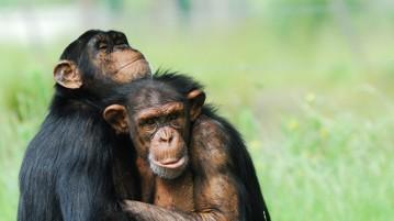 chimpanzé-casal
