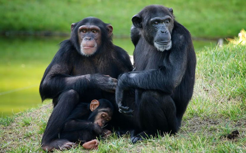 chimpanze-familia