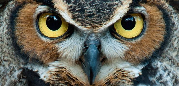 coruja-olhos-amarelos