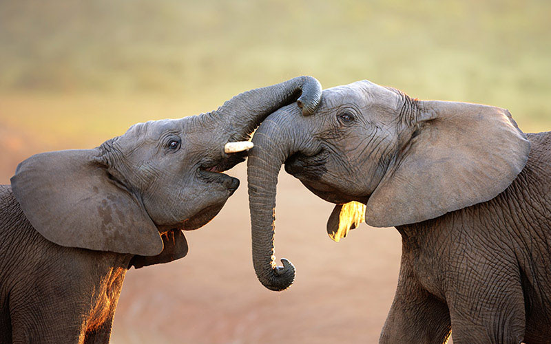 elefantes-casal