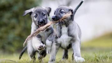 gêmeos-idênticos-cachorros