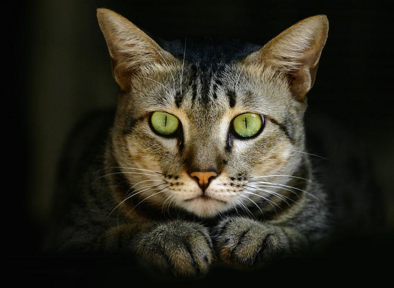 Não é incomum para os gatos terem olhos verdes brilhantes.