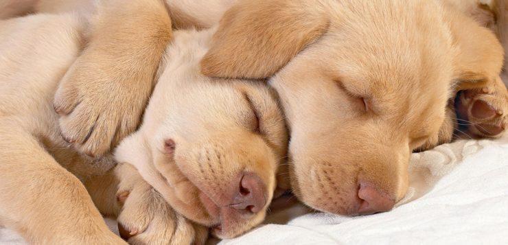 cachorro-cao-sonhando-dormindo