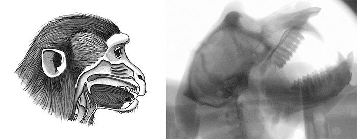 macaco-raio-x