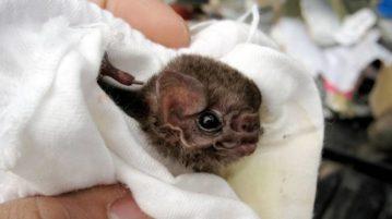 morcego brasileiro