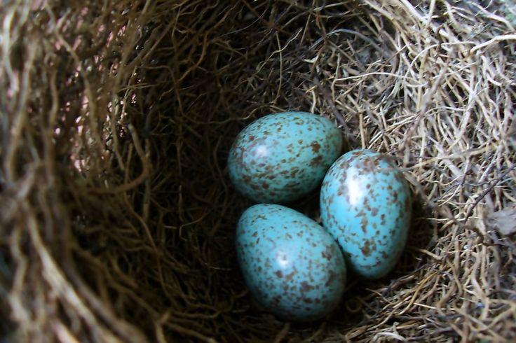 ovos pássaros