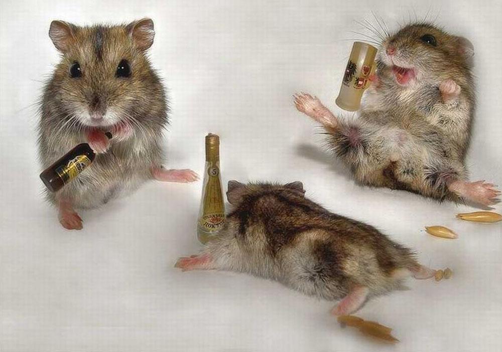 ratos-bêbados