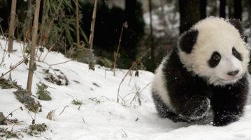 bebê-panda-neve