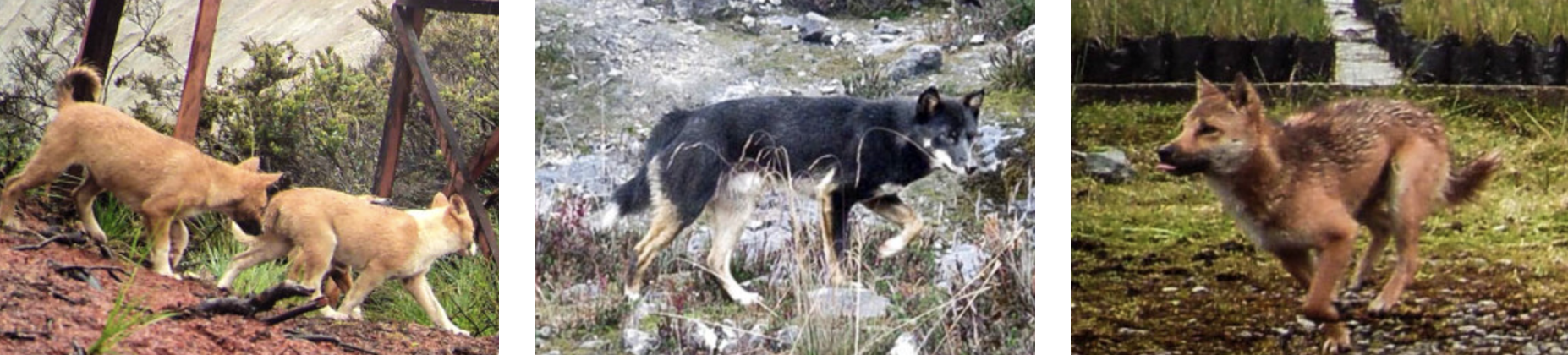 Cães se diferenciam em suas características visuais (Foto: NGHWDF)