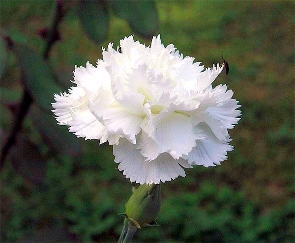 Cravo Branco