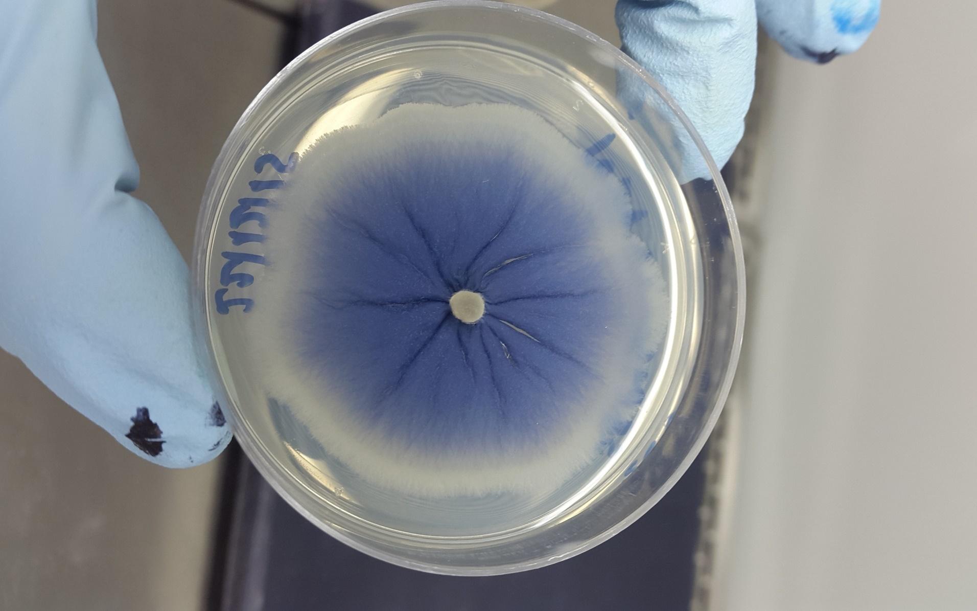 O fungo azul (Foto: Projeto MycoAntar)