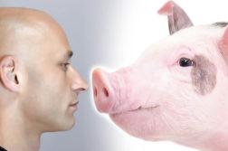 Homem Porcos Transplante