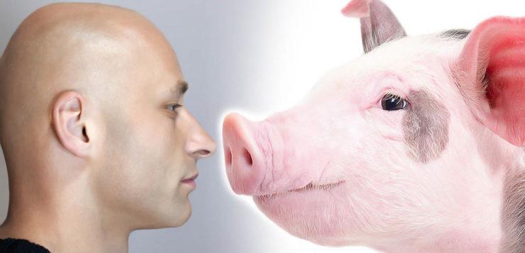 Novo vírus é descoberto em porcos na China e pode causar pandemia