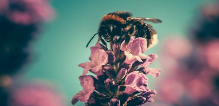 abelhascapa