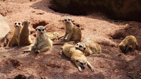 animais-suricatos