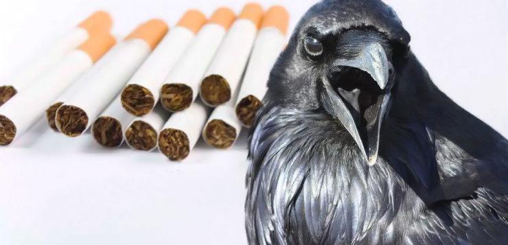 Empresa treina corvos para limpar as ruas de bitucas de cigarro