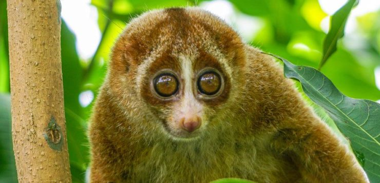 sumatran_slow_loris