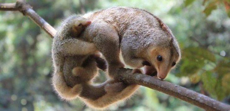 tamanduá-anão